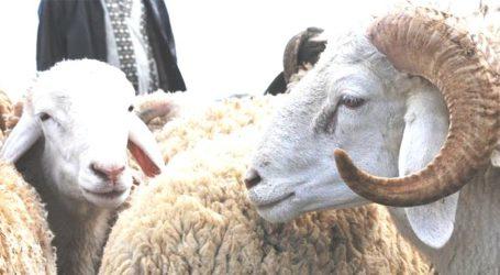 Lancement de l'opération de l'identification des ovins et des caprins destinés à l'Aïd al-Adha