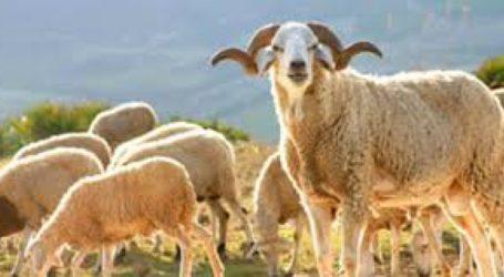 Aid Kébir: les moutons seront immatriculés