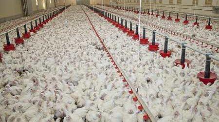 La viande du poulet d'élevage intensif mise en cause!