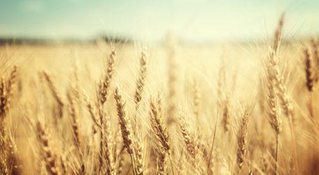 Blé : le gouvernement se prépare déjà à la sécheresse