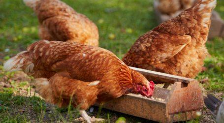 Al Hor ou quand le poulet beldi se crée une marque