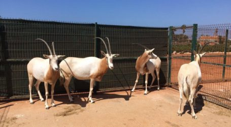 Loisirs: Sindibad intègre 4 Oryx rares à son zoo