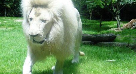 Zoo : un lion blanc et des panthères tachetées à Rabat