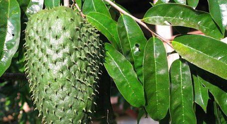 [Pratique] Les bienfaits des feuilles de corossol