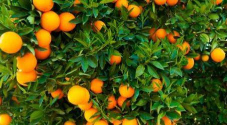 Incroyable mais vrai! On jette des oranges au Maroc!