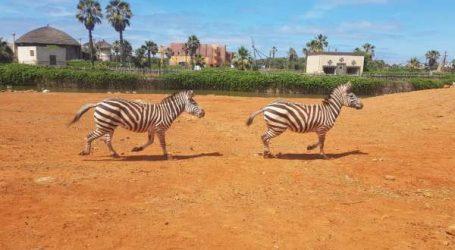 SIAM & CHATA, un couple de Zèbres s'installe dans le Zoo du Parc sindibad