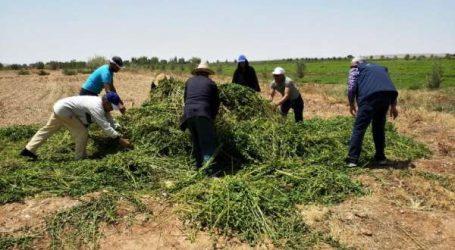 Destruction des cultures de champs de menthe non conformes aux normes de sécurité sanitaire des produits alimentaires