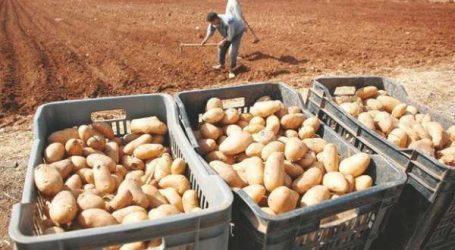 ONSSA détruit 136 tonnes de pommes de terre à Berkane
